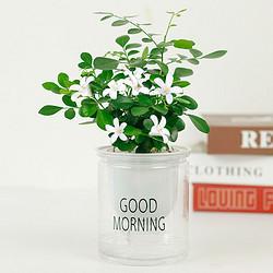 泰西丝 植物盆栽 九里香 含早安盆
